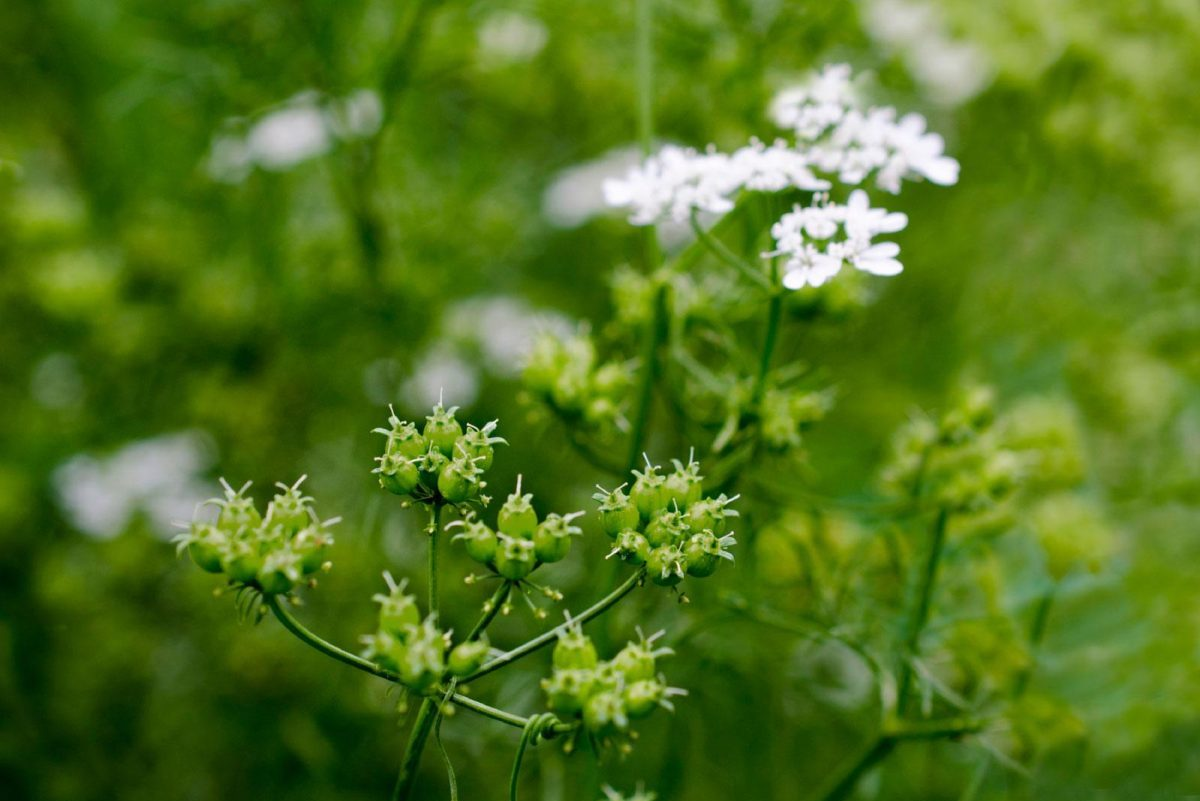 Is Your Cilantro Bolting? Here are Tips on How to Stop It from Reoccurring